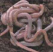 Image of Yelm Redworms available at Great Spirit Store